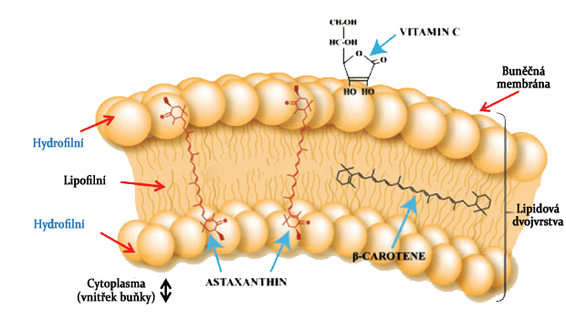 lipidová dvouvrstva